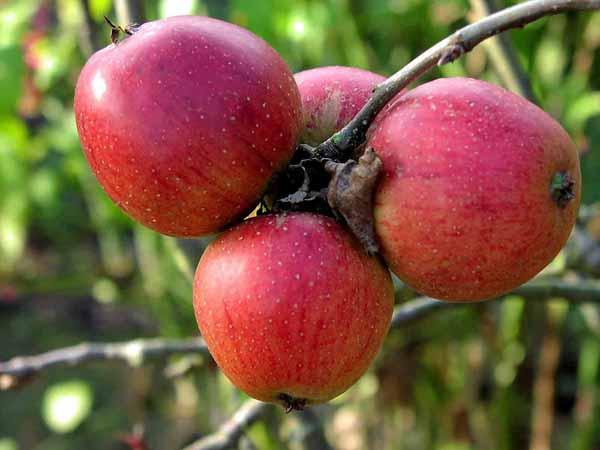 Coltivazione di frutta: come avviarla