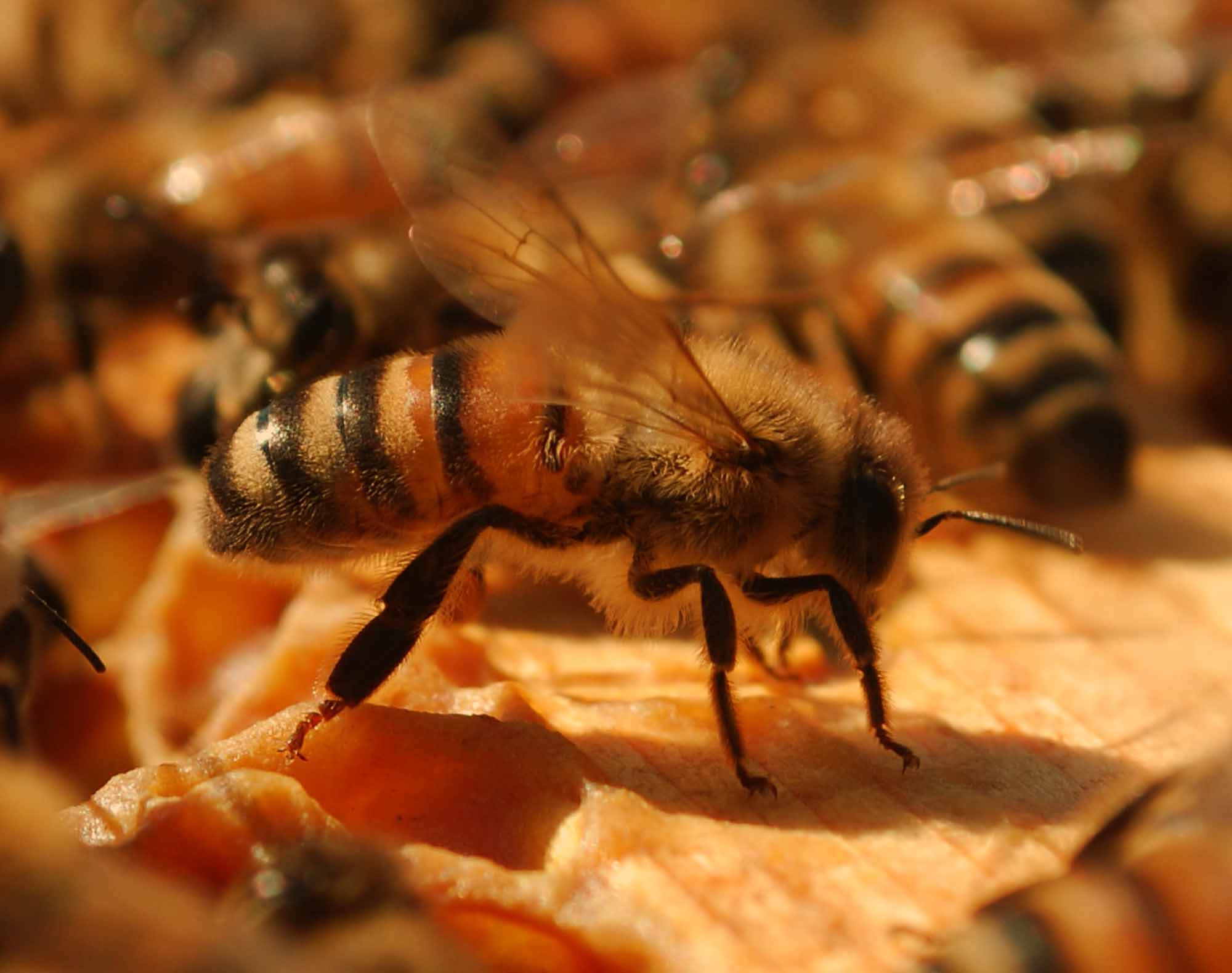Apicoltura: scelta delle api
