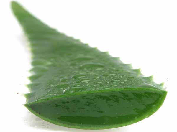 Aloe vera per la cura di apparato respiratorio, digerente e cardiocircolatorio