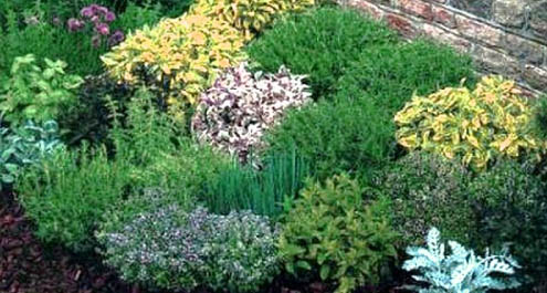 Coltivare erbe aromatiche guida completa for Piante da aiuola perenni