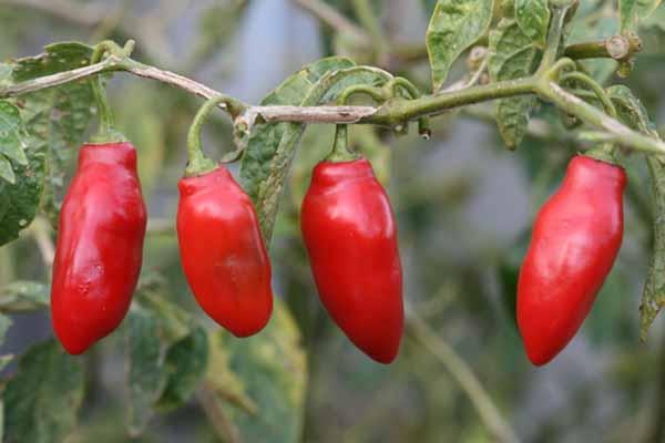 cultivar delle varietà di Capsicum pubescens