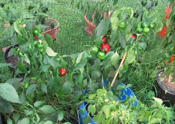 Vendita peperoncino: i produttori