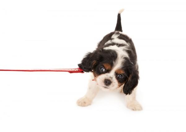 Come abituare un cane al guinzaglio