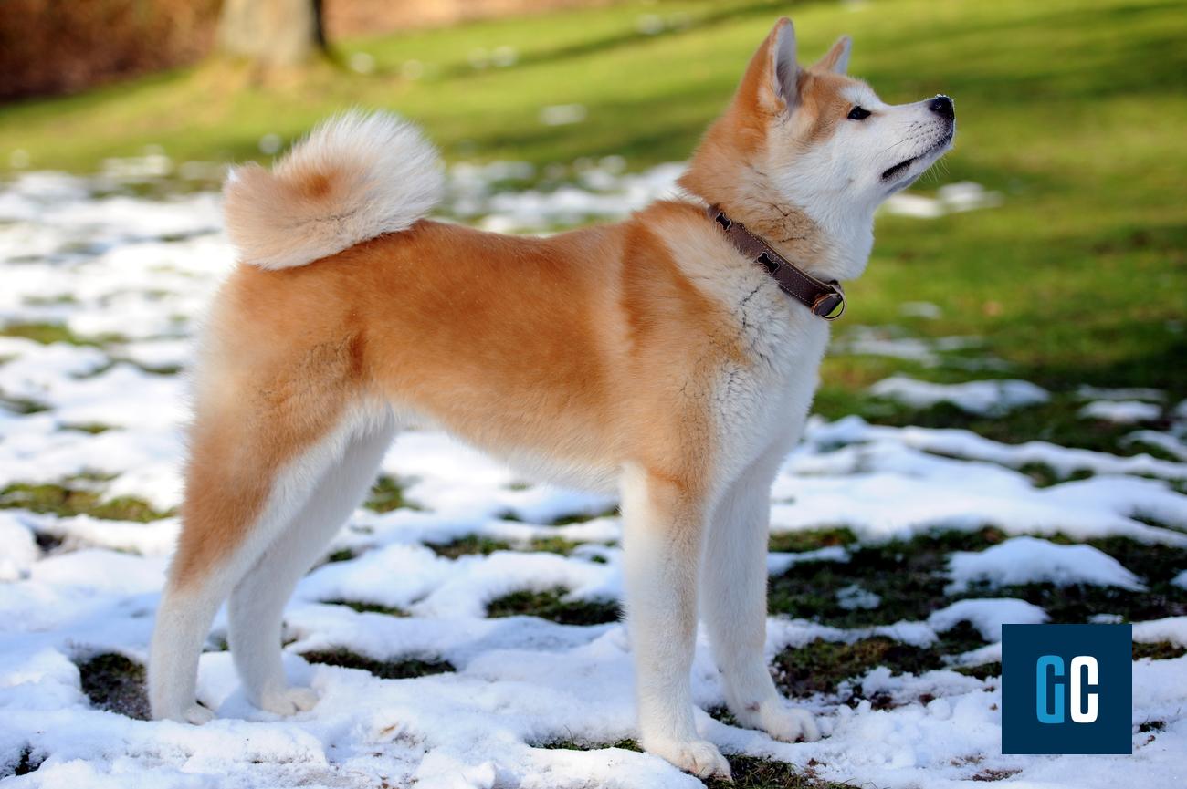 Cane Akita Inu: caratteristiche e cose da sapere