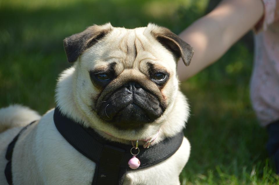 Cane Carlino: Caratteristiche e cose da sapere