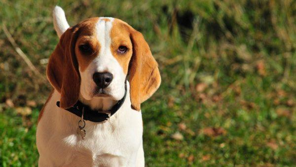 Cane Beagle: caratteristiche e cose da sapere